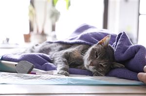 Mèo dễ nhiễm Covid-19 từ người hơn chó