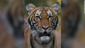 Một con hổ trong sở thú ở Mỹ dương tính với Covid-19